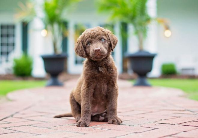 Chesapeake_Bay_Retriever_SERP
